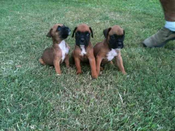 Boxer Puppies For Sale-$200 00 - Louisiana Sportsman