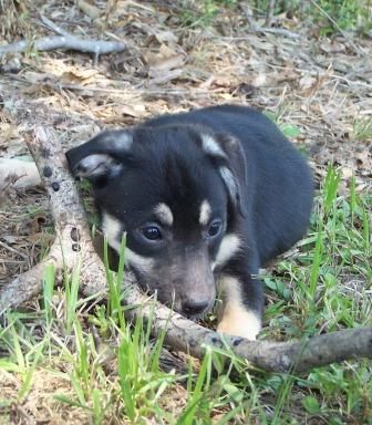 Ckc Treeing Feist Puppies For Sale Louisiana Sportsman Classifieds La