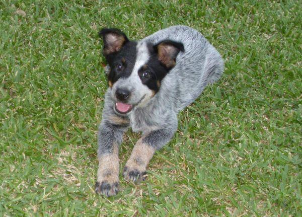 Blue Heeler Puppies For Sale Louisiana Sportsman Classifieds La
