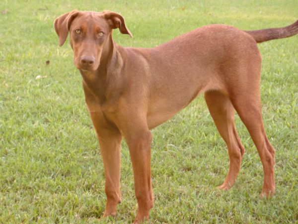 Vizsla Lab Mix For
