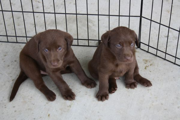 Chocolate Lab Puppies For Sale Louisiana Sportsman Classifieds La