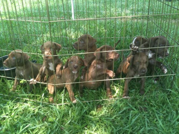 2012 catch pitbull pups for hogs Hunting Dogs For Sale in