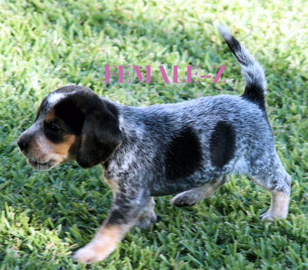 Bluetick Beagle Pups Available Now Louisiana Sportsman Classifieds La