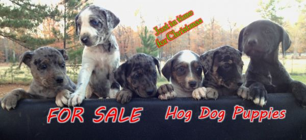 2012 catahoula Hunting Dogs For Sale in Central and North Louisiana