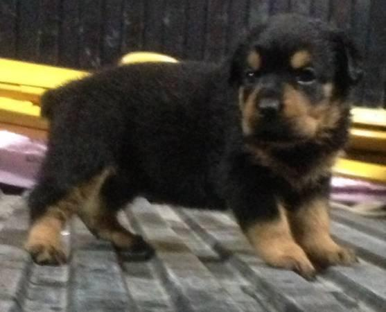 German Rottweiler Puppies For Sale Carolina Sportsman Classifieds Nc