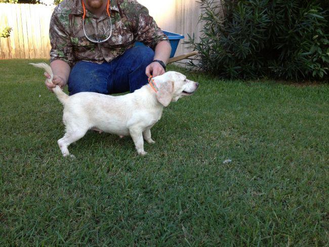 Beagle Deer Dogs For Sale Louisiana Sportsman Classifieds La