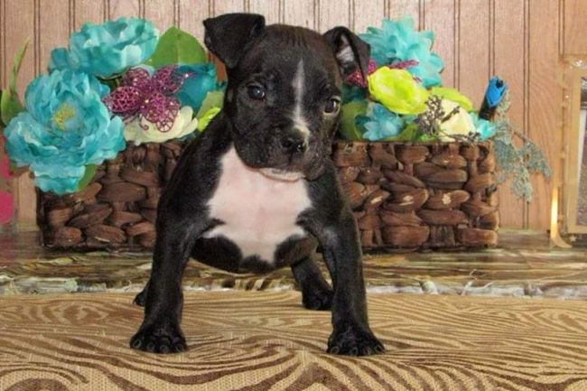 American Pit Bull Terrier Puppies For Sale Louisiana Sportsman