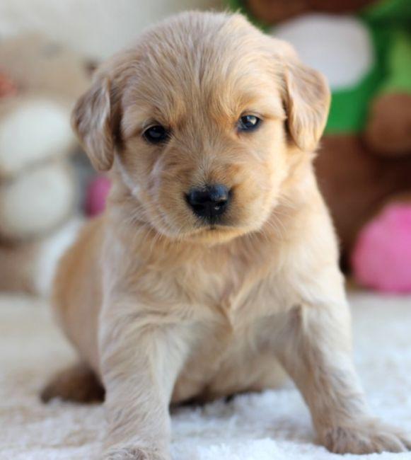12 Weeks Golden Retriever Puppies For Sale Mississippi Sportsman