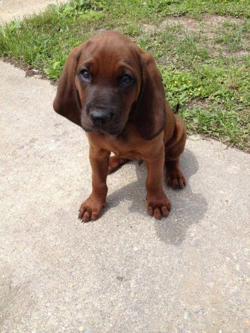Ckc Redbone Coonhound Pups Louisiana Sportsman Classifieds La