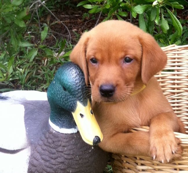 Registered Fox Red British Lab Puppy For Sale - Louisiana Sportsman