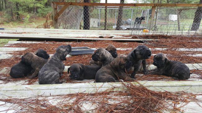 Hog Dog Puppies for sale - Louisiana Sportsman Classifieds, LA