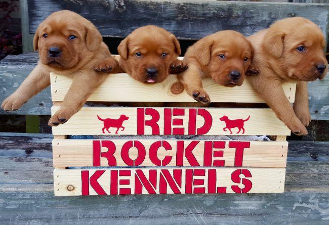 Fox Red British Lab Puppies for Sale - Louisiana Sportsman