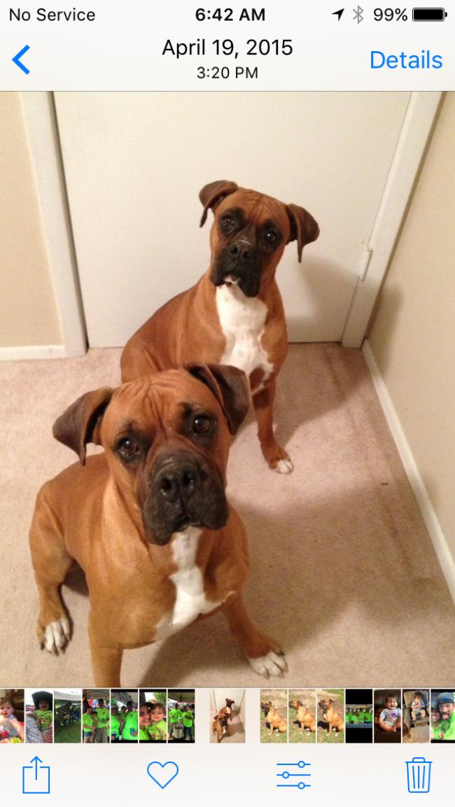 Akc Boxer Pups For Sale Louisiana Sportsman Classifieds La