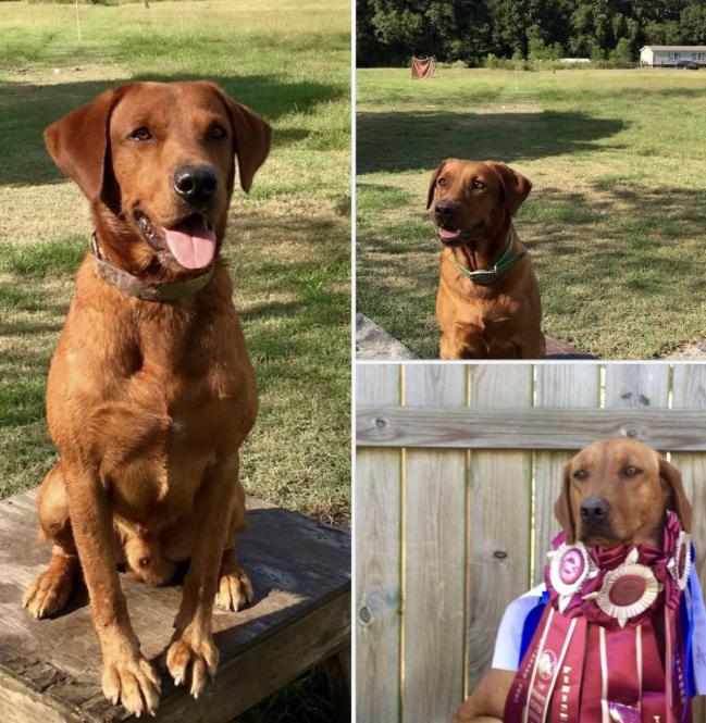British Fox Red Lab Puppies For Sale Louisiana Sportsman