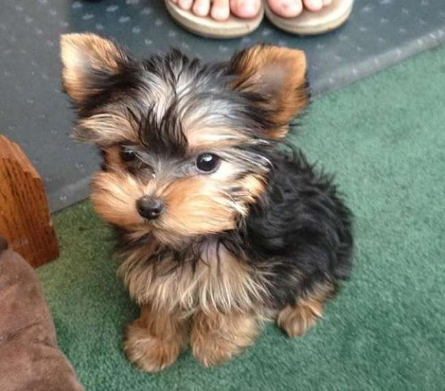 yorkie puppies for sale wilmington nc female yorkie puppies for sale carolina sportsman 6343