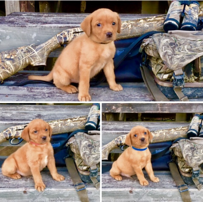 Red Rocket Kennels has 3 Male Fox Red British Lab Puppies fo