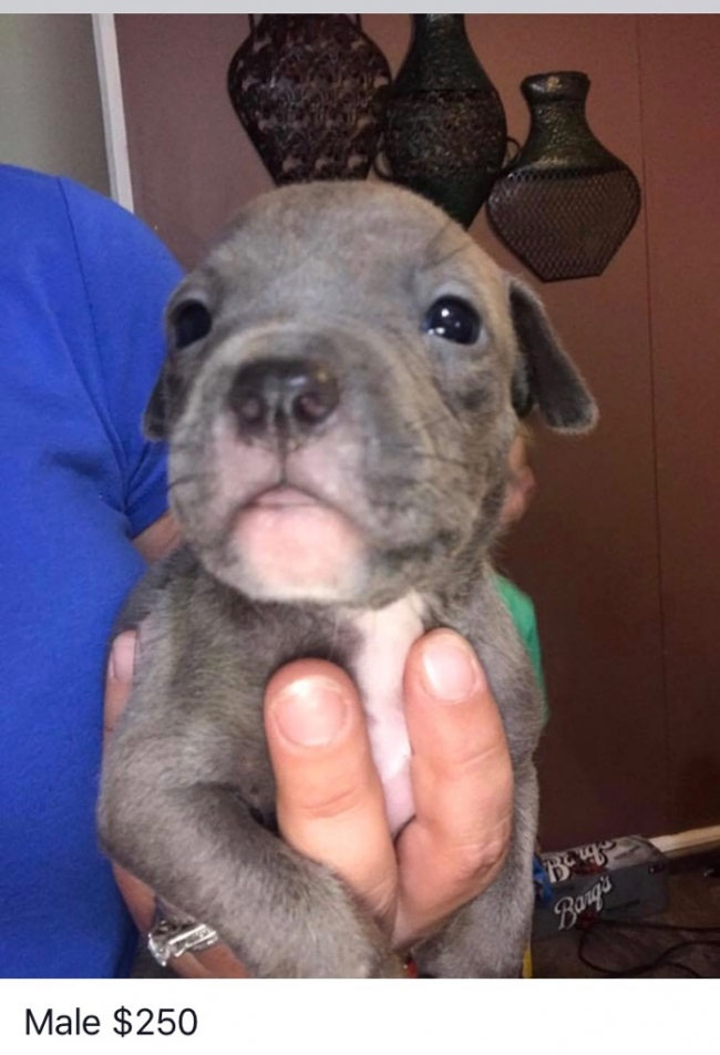 Pit Bull Puppies For Sale Louisiana Sportsman Classifieds La