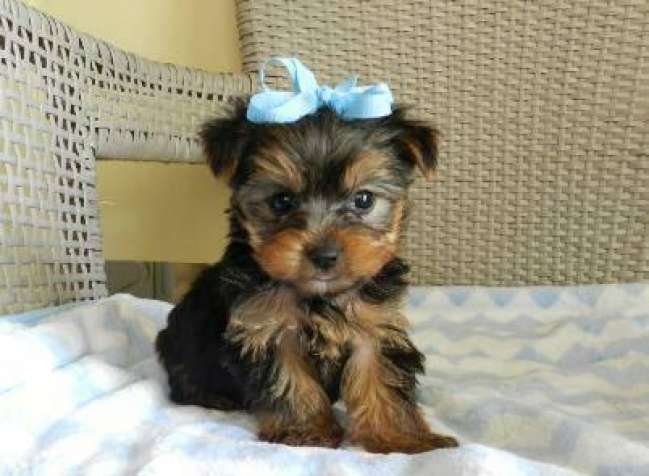 Male And Female Akc Yorkie Puppies For Saletext Or Call