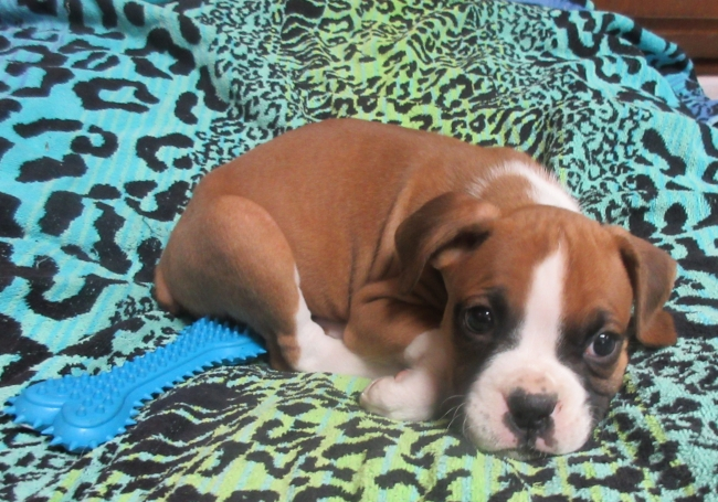 Boxer Puppy For Sale Akc Registered Champion Bloodline Louisiana