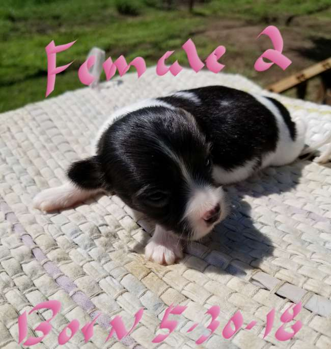 Ckc Registered Toy Rat Terrier Puppies For Sale Louisiana
