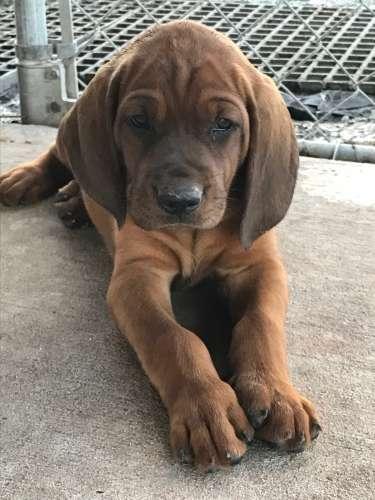Purple Ribbon Redbone Coonhound Puppies Louisiana Sportsman