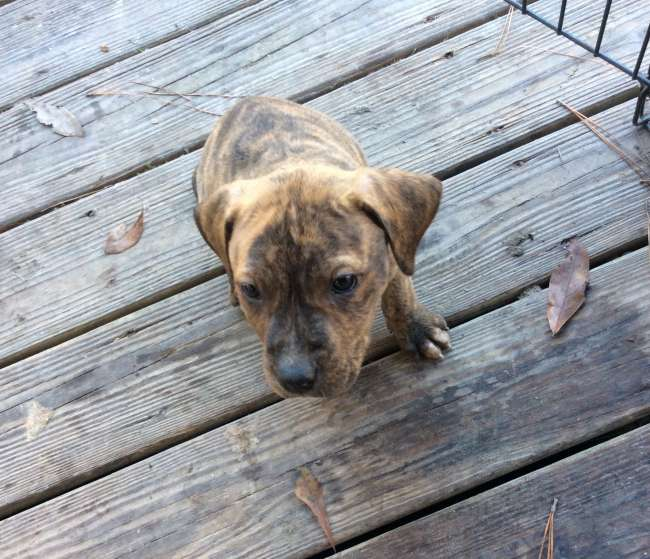 Run and catch hog dog puppies - Louisiana Sportsman
