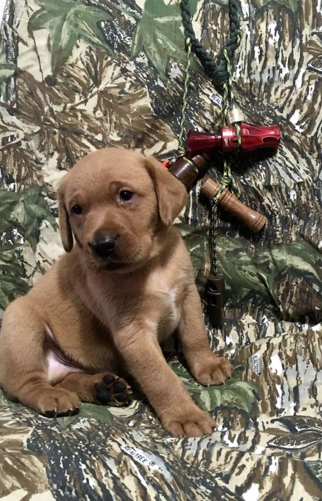 Fox Red British Lab Puppies for Sale - Louisiana Sportsman