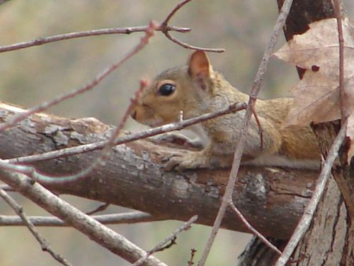 Pellet Guns for Squirrels • Hunting in Piedmont Area