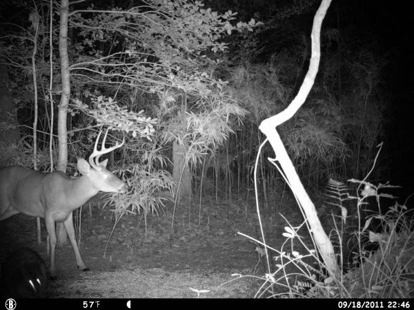Crab Claw 8 pointer!!!! • Trail Cam Photos in Eastern North
